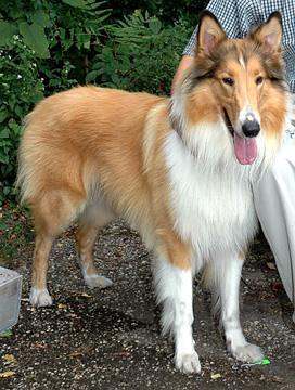 collie.jpg (63589 bytes)